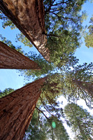Sequoias in the Mariposa Grove, Yosemite Natl Park