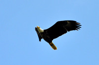 Bald Eagle, Knox County, OH